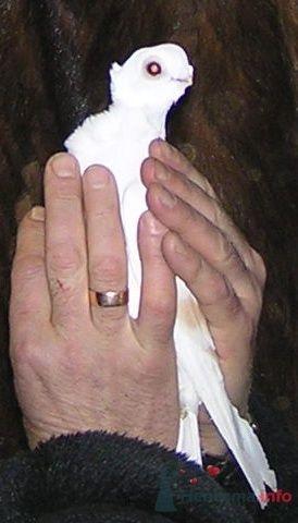 Фото 6843 в коллекции Мои фотографии - Белые голуби на свадьбу