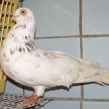 Клайпедская порода голубей
