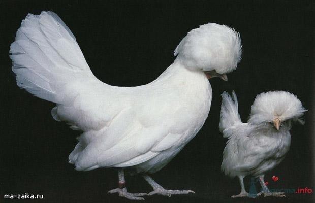 Польская белая курица