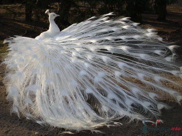 Фото 67026 в коллекции Птицы - вечные невесты - Incognito