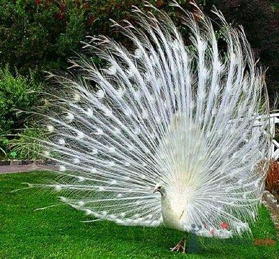 Фото 67030 в коллекции Птицы - вечные невесты - Incognito